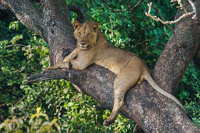 African Lion Panthera Leo On Tree, Lake Art Print