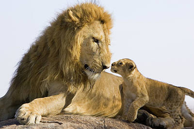 African Lion Panthera Leo Seven Art Print