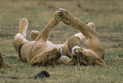 Photograph - African Lion Panthera Leo Two Cubs by Gerry Ellis