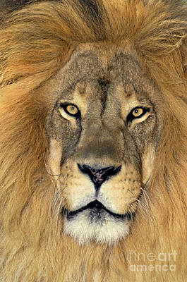 Photograph - African Lion Portrait Wildlife Rescue by Dave Welling