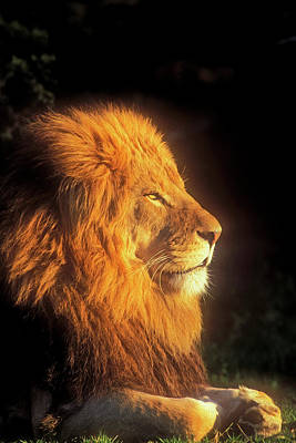 Photograph - African Lion Profile In Golden Light by Mark Miller