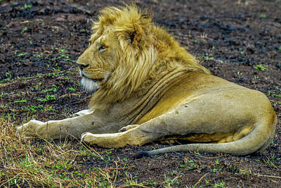 Photograph - African Lion Resting by Marilyn Burton