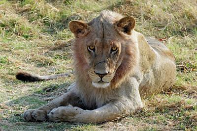 African Lion Art Print by Robert Shard