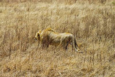 Photograph - African Lion Stalking by Marilyn Burton