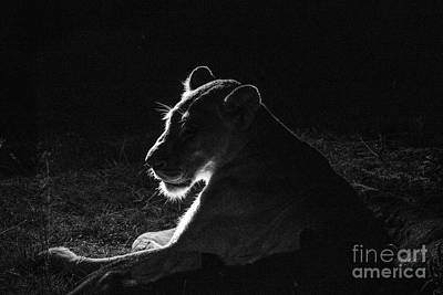 Photograph - African Lioness At Night by Jennifer Ludlum