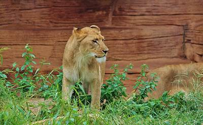 Photograph - African Lioness by Cynthia Guinn