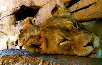 Lion In Waiting Photograph - African Lioness by Debra     Vatalaro