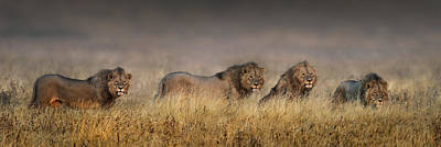 Leo Photograph - African Lions Panthera Leo Cohort by Panoramic Images