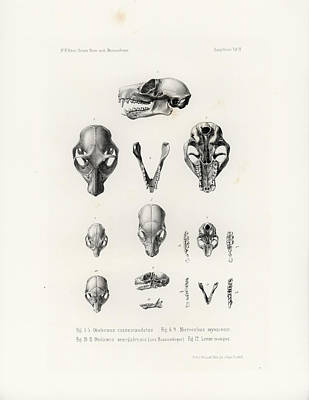 Drawing - African Mammal Skulls by Hugo Troschel