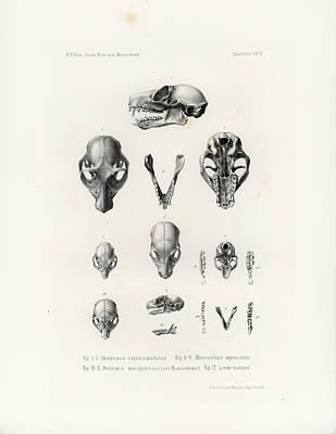 African Mammal Skulls Art Print