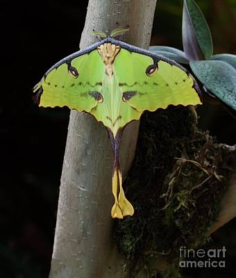 Photograph - African Moon Moth by Ruth Jolly