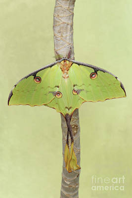Photograph - African Moon Moth V2 by Judy Whitton
