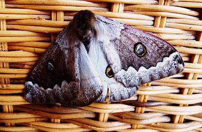 Photograph - African Moth 01 by Dora Hathazi Mendes