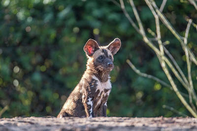 Photograph - African Painted Dog - Pup by Darren Wilkes