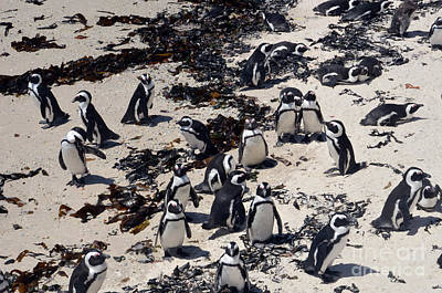 Digital Art - African Penguin 3 by Eva Kaufman
