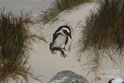 African Penguin On A Mission Art Print