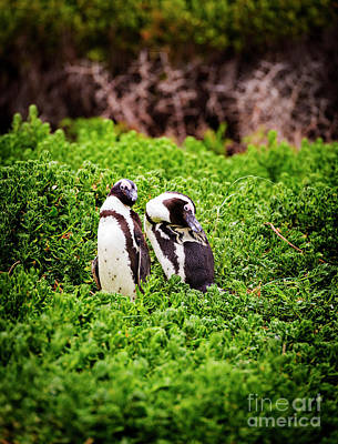 Photograph - African Penguin Pair by Tim Hester