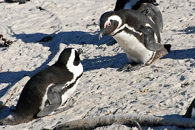 Photograph - African Penguin Study Number Nine by Harvey Barrison