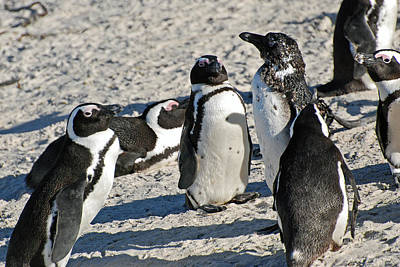Photograph - African Penguin Study Number Eight by Harvey Barrison