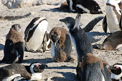 Photograph - African Penguin Study Number Twelve by Harvey Barrison
