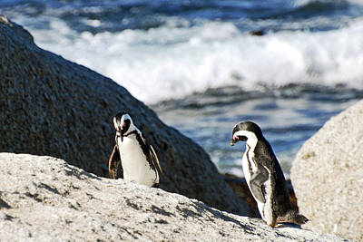 Photograph - African Penguin Study Number Two by Harvey Barrison