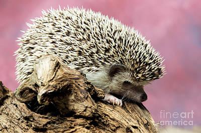Colorful Button - African Pygmy Hedgehog by Les Palenik