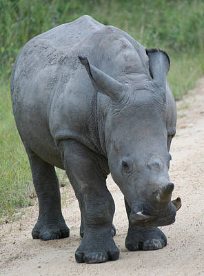 African Rhino Art Print
