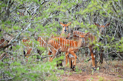 Digital Art - African Safari Bushbuck 1 by Eva Kaufman