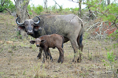 Digital Art - African Safari Mother And Baby Buffalo by Eva Kaufman