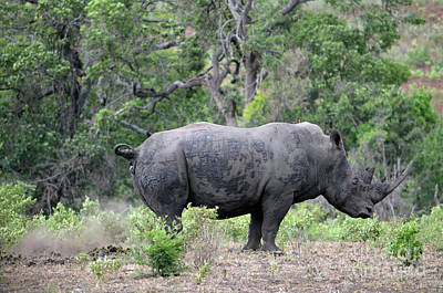 Digital Art - African Safari Naughty Rhino by Eva Kaufman