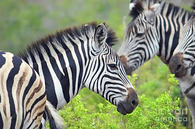 Digital Art - African Safari Zebras by Eva Kaufman