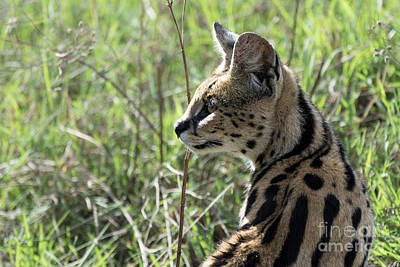 Photograph - African Serval Using Its Sense Of Hearing To Locate The Prey by RicardMN Photography