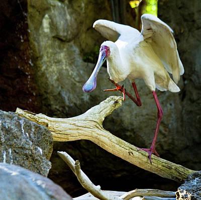 African Spoonbill Original