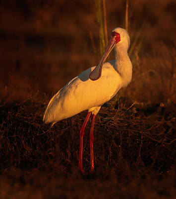 Photograph - African Spoonbill  by Myer Bornstein