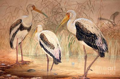 Ibis Painting - African Tantalus Pseudotantalus Ibis by Joseph Wolf