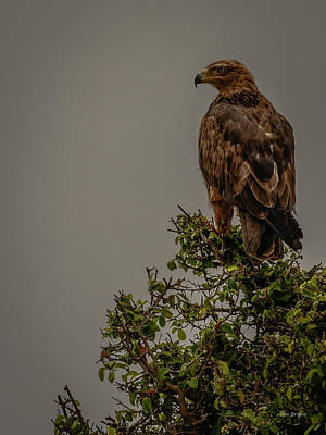 Photograph - African Tawny Eagle by Tim Bryan