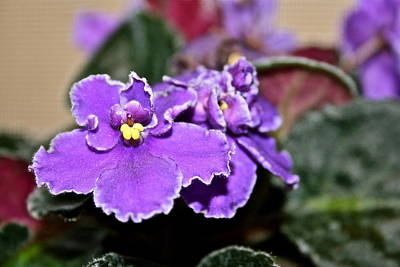 Photograph - African Violet Flowers by Ruth Edward Anderson