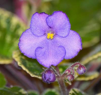 Photograph - African Violet by Richard Bryce and Family