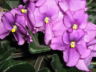 African Violets Art Print by Barbara Yearty
