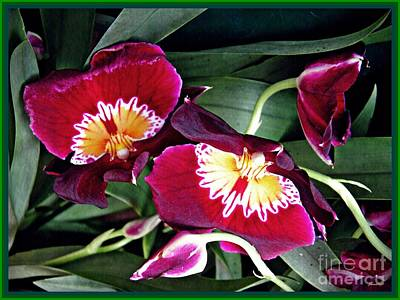 Photograph - Red Pansy Orchids by Sarah Loft