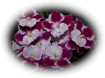 Pop Art - African Violets in an oval shape  by Holly Eads