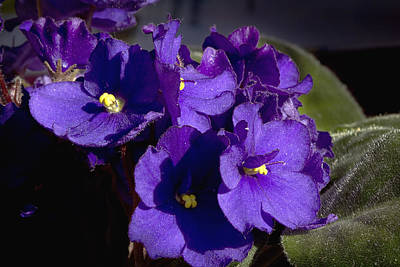 Art Print featuring the photograph African Violets by Phyllis Denton