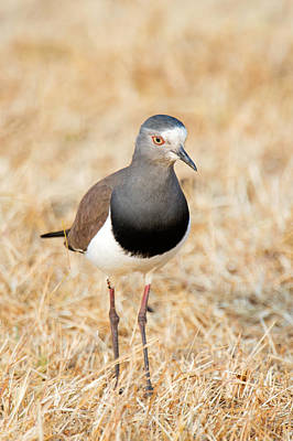 Lapwing Photograph - African Wattled Lapwing Vanellus by Panoramic Images