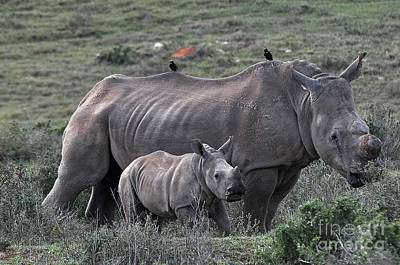 Photograph - African White Rhino And Calf by Josephine Cohn