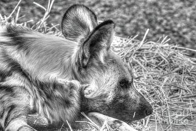 Photograph - African Wild Dog by Steven Parker