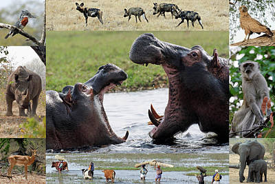 Photograph - African Wildlife Montage - Hippos by Robert Shard
