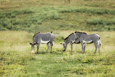 Photograph - African Zebras by Tom Mc Nemar