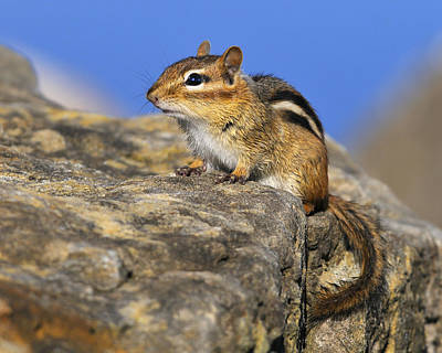 Eastern Chipmunk Photograph - After A Bath by Tony Beck