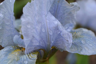 Photograph - After The Rain - Blue Iris by Richard Andrews