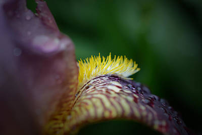 Photograph - After The Rain - Iris by Richard Andrews
